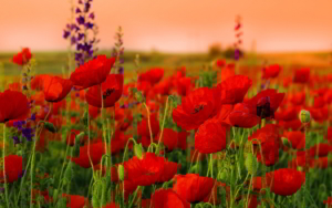 poppies-field