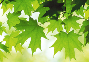 green-maple-leaves-wallpapers